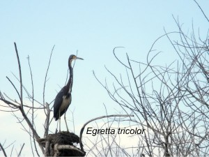 Tricolored Heron at Caloosahatchee Creeks Preserve
