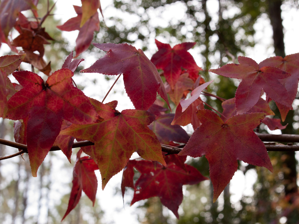 Sweet gum leaves at the farm