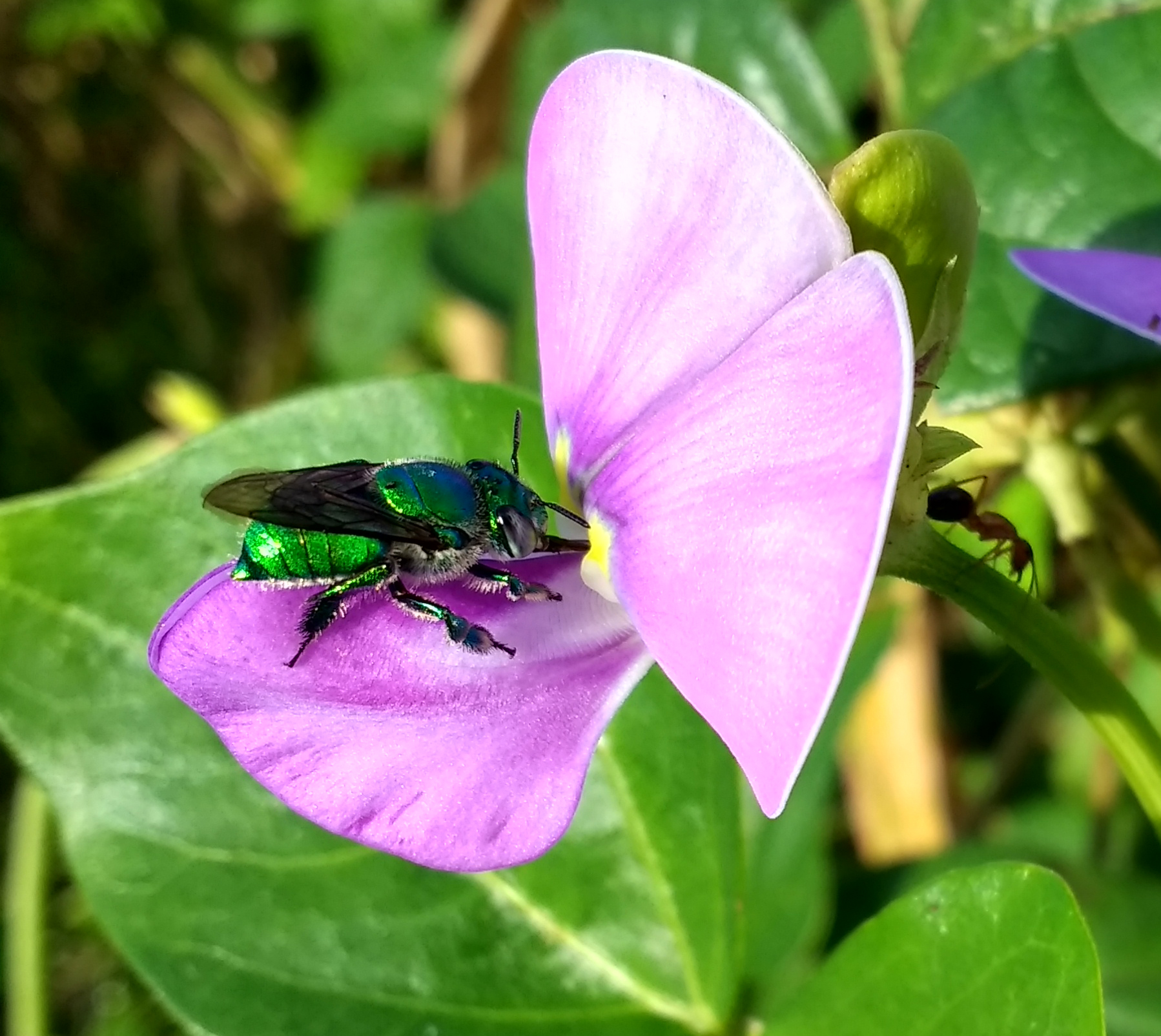 Orchid Bee at ECHO