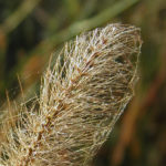 Bristle grass at Yellow Fever Creek Preserve